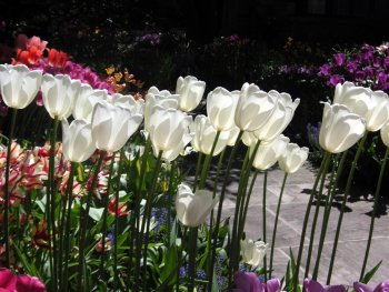 White tulips blooming