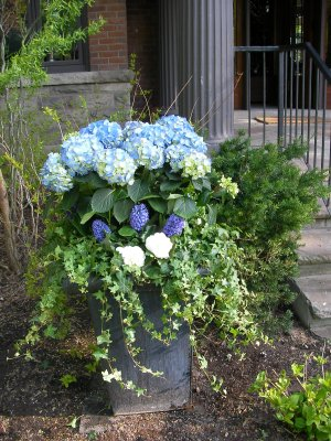 Full urn with a hydrangea plant
