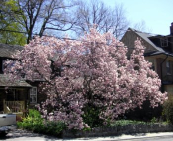 A huge Magnolia tree in full bloom